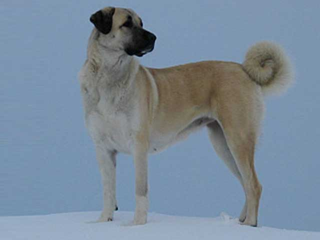 ~Mossberg~ Stray dog~ Kangal_dog_ceylan