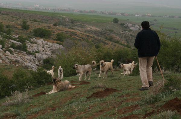 Shepherd with Kangal Dogs